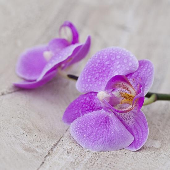 Orchid Pink - Square-Lebens Art-Art Print