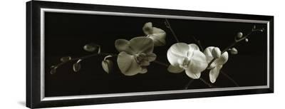 Orchid Sprays-J^k^ Driggs-Framed Art Print