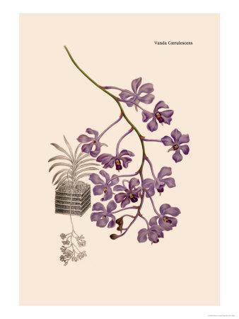 https://imgc.artprintimages.com/img/print/orchid-vanda-coerulescens_u-l-p2btvw0.jpg?p=0