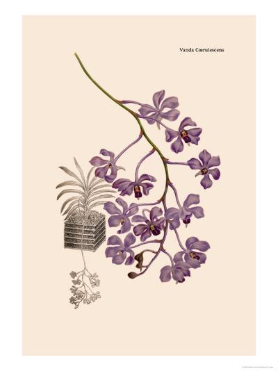 Orchid: Vanda Coerulescens-William Forsell Kirby-Art Print