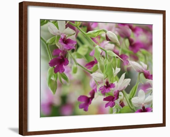 Orchid-Adam Jones-Framed Photographic Print