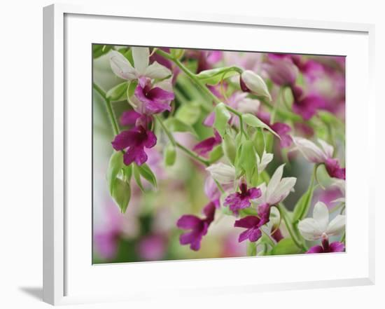 Orchid-Adam Jones-Framed Photographic Print