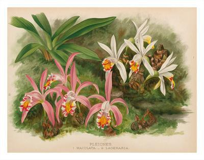 https://imgc.artprintimages.com/img/print/orchids-illustration-from-the-orchid-album-1887_u-l-f8a4al0.jpg?p=0