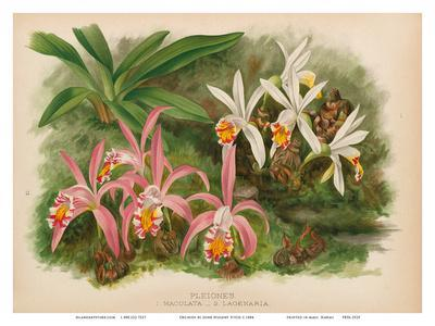https://imgc.artprintimages.com/img/print/orchids-illustration-from-the-orchid-album-1887_u-l-f8a4br0.jpg?p=0
