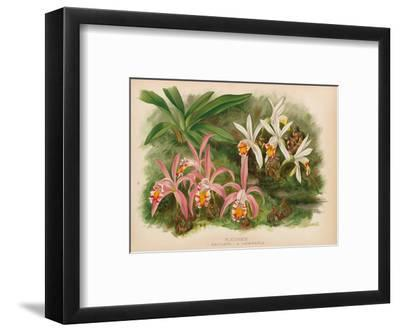 Orchids - Illustration from The Orchid Album (1887)-John Nugent Fitch-Framed Art Print