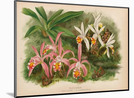 Orchids - Illustration from The Orchid Album (1887)-John Nugent Fitch-Mounted Art Print