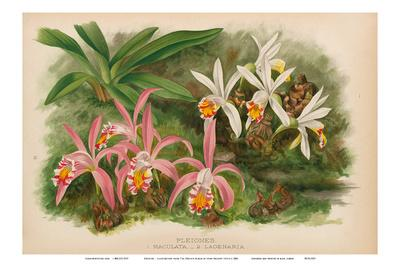 https://imgc.artprintimages.com/img/print/orchids-illustration-from-the-orchid-album-1887_u-l-f8a4bs0.jpg?p=0
