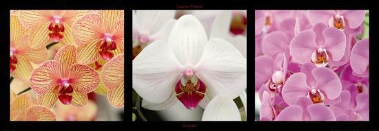 Orchids-Laurent Pinsard-Art Print
