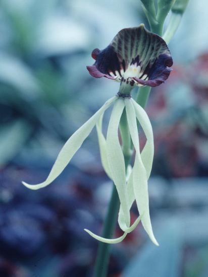 Orchids-Alfred Eisenstaedt-Photographic Print