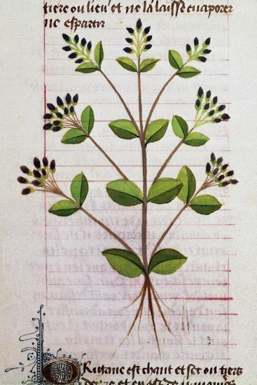 Oregano (Origanum Sp) from De Diversis Herbis by Pedanius Dioscorides--Giclee Print