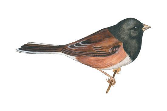 Oregon Junco (Junco Hyemalis Oreganus), Birds-Encyclopaedia Britannica-Art Print