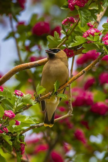 Oregon, Malheur National Wildlife Refuge. Close-up of Cedar Waxwing-Cathy & Gordon Illg-Photographic Print