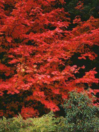Oregon, Mount Hood NF. Bright red leaves of vine maple in autumn contrast with ferns and shrub.-John Barger-Photographic Print