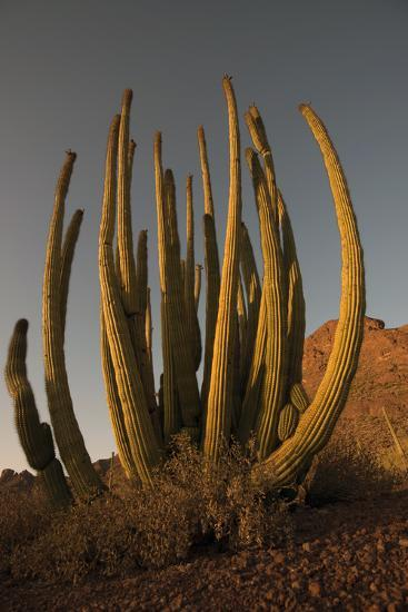 Organ Pipe Cacti at Sunset-Bill Hatcher-Photographic Print