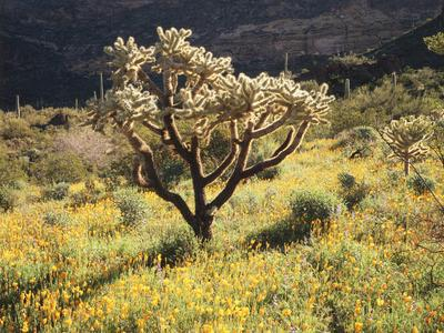 Organ Pipe Cactus Nm, Ajo Mts, Desert Vegetation and Flowers-Christopher Talbot Frank-Framed Photographic Print