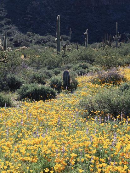 Organ Pipe Cactus Nm, California Poppy and Saguaro in the Ajo Mts-Christopher Talbot Frank-Photographic Print