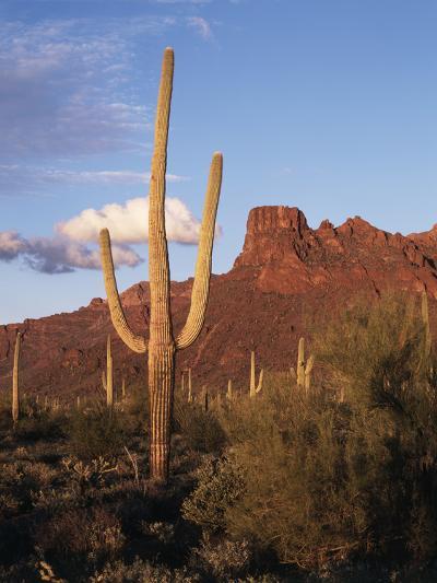 Organ Pipe Cactus Nm, Saguaro Cacti in the Ajo Mountains-Christopher Talbot Frank-Photographic Print