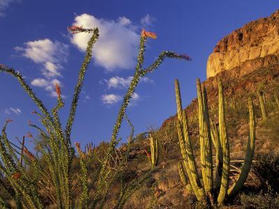 Organ Pipe Cactus with Ocotillo, Organ Pipe Cactus National Monument, Arizona, USA-Jamie & Judy Wild-Photographic Print
