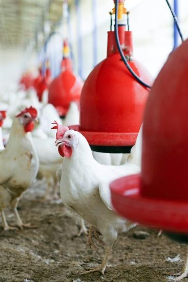 Organic Chicken Farming--Photographic Print