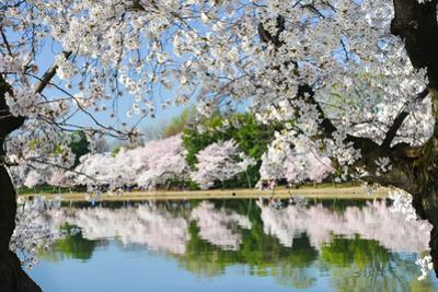 Spring in Washington DC - Cherry Blossom Festival at Tidal Basin by Orhan