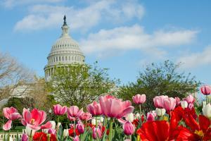 Tulips in Front of the Capitol Building in Spring, Washington DC by Orhan