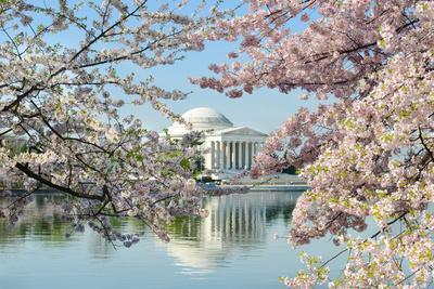 Washington Dc, Thomas Jefferson Memorial during Cherry Blossom Festival in Spring - United States