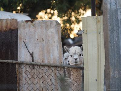 Alpacas Looking Through a Gap in a Backyard Fence, Williamstown