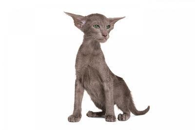 Oriental Cat-Fabio Petroni-Photographic Print