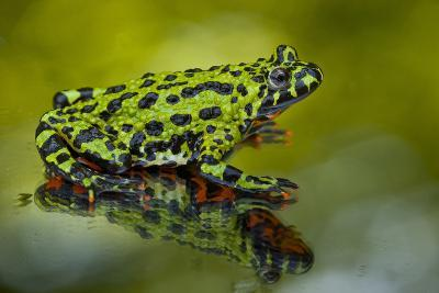 Oriental Fire-Belled Toad on Glass to Show Belly Color, North Carolina, USA--Photographic Print