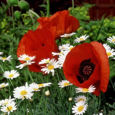 """Oriental Poppy """"Marcus Perry"""" and Marguerite-James Guilliam-Photographic Print"""