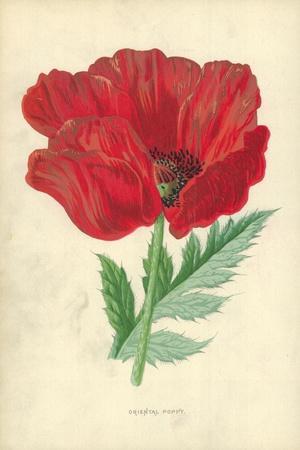 Oriental Poppy-Frederick Edward Hulme-Giclee Print