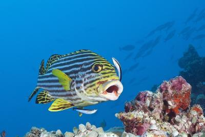 Oriental Sweetlips Cleaned by Cleaner Wrasse, Maldives-Reinhard Dirscherl-Photographic Print