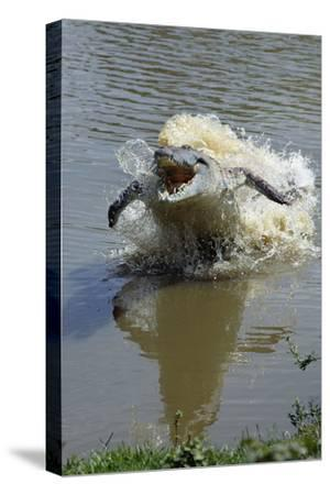 Orinoco Crocodile Female Lunging Out of Water