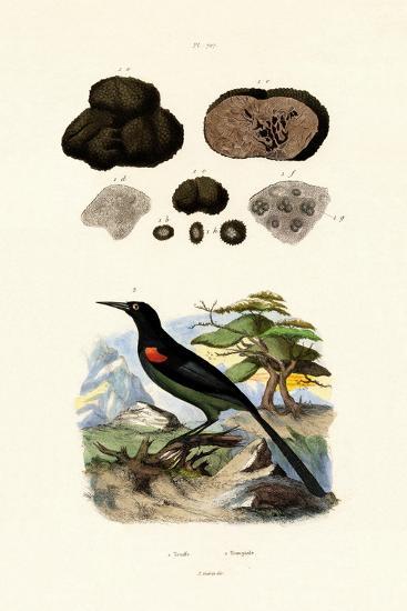 Oriole, 1833-39--Giclee Print