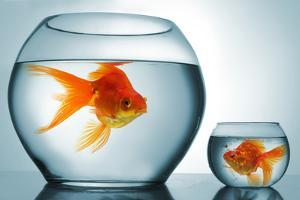 Golodfish Discrimination by Orla