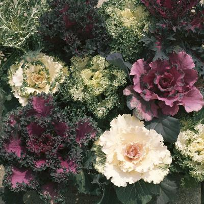 Ornamental Cabbage, Mixed Autumn and Winter-Michele Lamontagne-Photographic Print