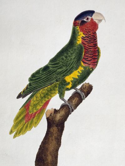 Ornate Lorikeet (Trichoglossus Ornatus)--Giclee Print