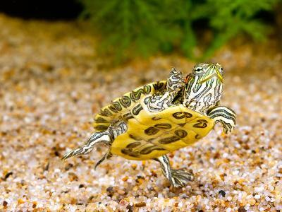 Ornate Red Ear Turtle, Chrysemys Scripta Elegans, Native to Southern Us-David Northcott-Photographic Print