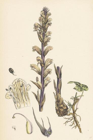 Orobanche Hederae Ivy Broom-Rape--Giclee Print