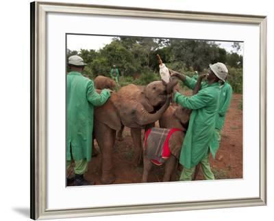 Orphan Elephants Playfully Vie for a Bottle of Formula-Michael Nichols-Framed Photographic Print