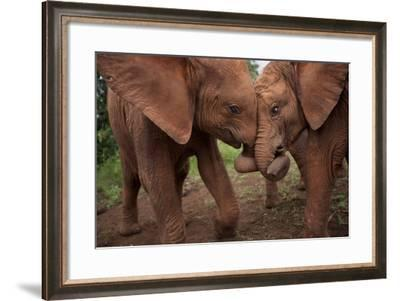 Orphan Elephants Socialize as Soon as the Worst Injuries Heal-Michael Nichols-Framed Photographic Print