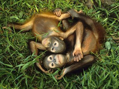 Orphaned Bornean Orangutans, Sepilok Reserve, Sabah, Borneo-Frans Lanting-Photographic Print