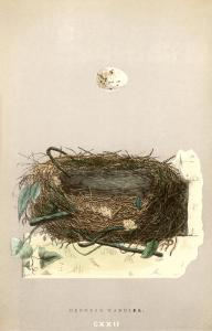 Orphean Warbler Egg and Nest