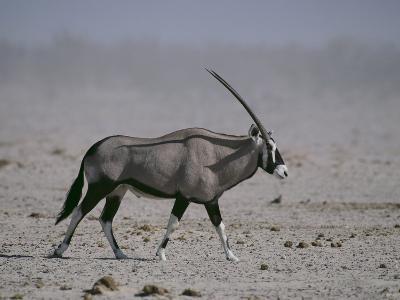 Oryx Gazella Beisa-DLILLC-Photographic Print