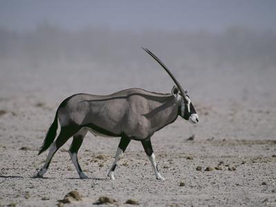 https://imgc.artprintimages.com/img/print/oryx-gazella-beisa_u-l-pzr96w0.jpg?p=0