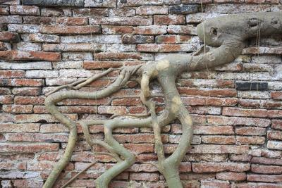 Tree Roots Growing On Brick Wall. Wat Phra Mahathat Temple. Ayutthaya. Thailand