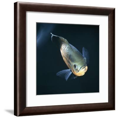 Oscar Velvet Cichlid Captive, from South America-Jane Burton-Framed Photographic Print