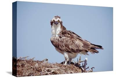 Osprey adult perching on nest, Baja California, Mexico-Tim Fitzharris-Stretched Canvas Print