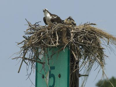 Osprey and Chick in Nest Atop a Boating Channel Marker-Paul Sutherland-Photographic Print