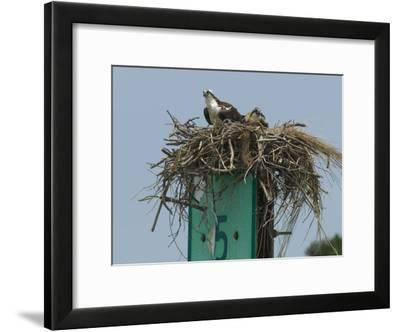 Osprey and Chick in Nest Atop a Boating Channel Marker-Paul Sutherland-Framed Photographic Print